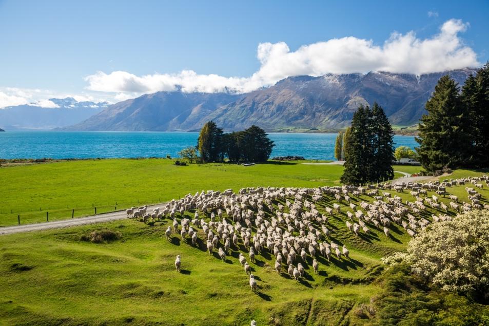29,000 ovelhas são manejadas e tosquiadas durante seis semanas_divulgação