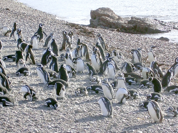 pinguins 1